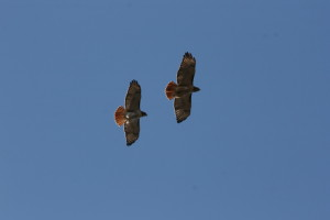 2 hawks in flight